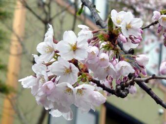 ソメイヨシノ(西濠)、クリックで桜の弘前城写真集へ